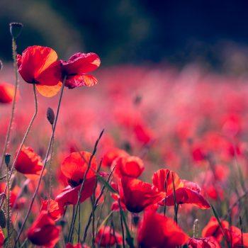 poppies-3374193_1920